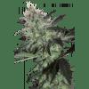 Silver Haze x New York Diesel Ripper Seeds - (x3)
