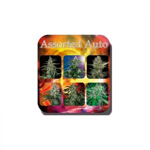 Auto Assorted Buddha Seeds - (x10)