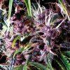 Auto Purple Pyramid Seeds - (x3)
