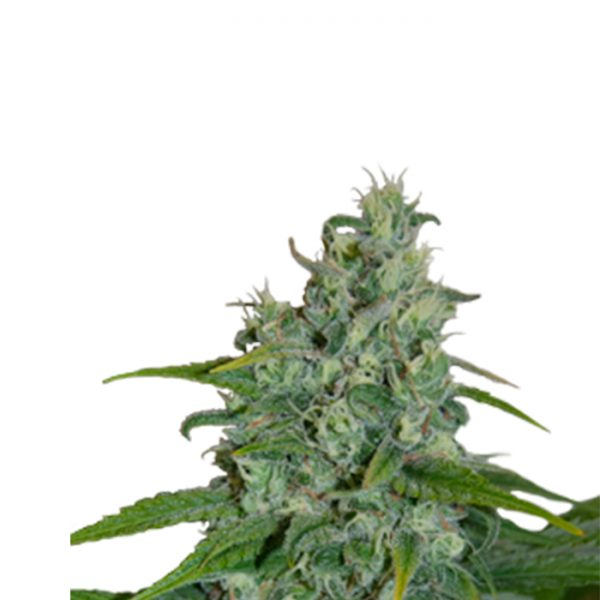Auto Critical Seedmakers - (x5)