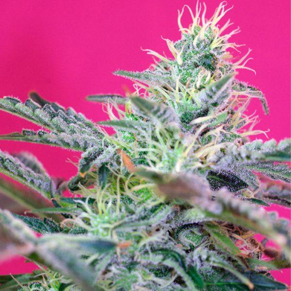 Auto Killer Kush Sweet Seeds - (3+1)