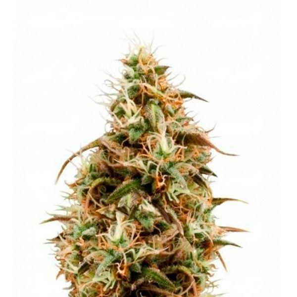 Pineapple Chunk Feminizada Barneys Farm - (x1)