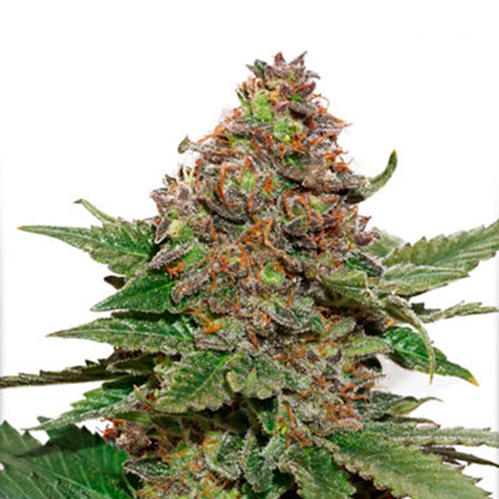 Strawberry Cough Feminizada Dutch Passion - (x3)