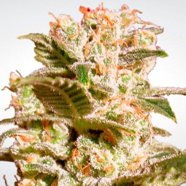 Jack la Mota Feminizada Medical Seeds - (x3)