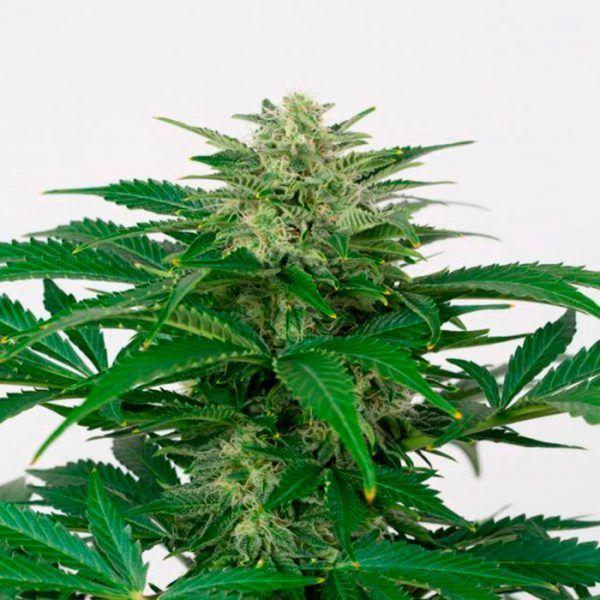 Prozack Feminizada Medical Seeds - (x3)
