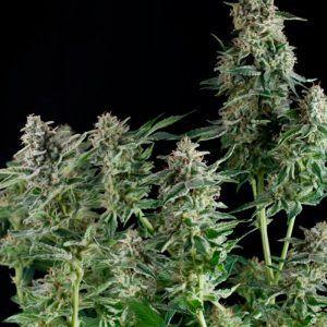White Widow Feminizada Medical Seeds - (x3)