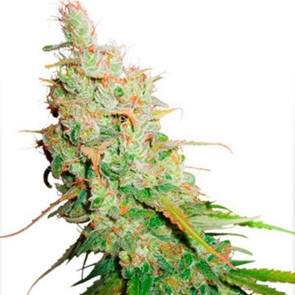 Y Griega CBD Medical Seeds - (x3)