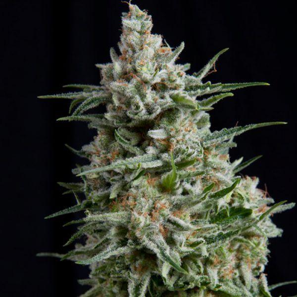Amnesia Gold Feminizada Pyramid Seeds - (x1)