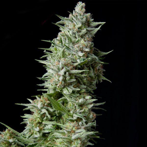 Anubis Feminizada Pyramid Seeds - (x1)