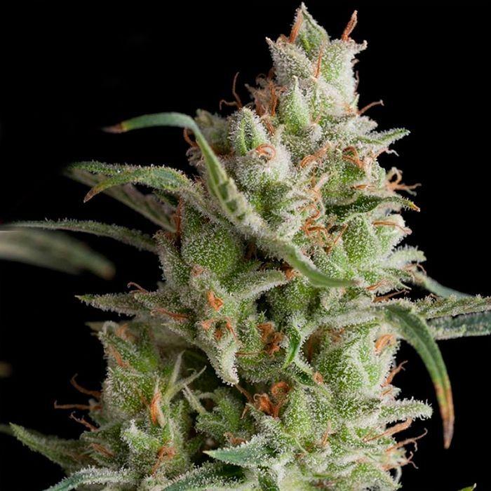 Super OG Kush Feminizada Pyramid Seeds - (x1)