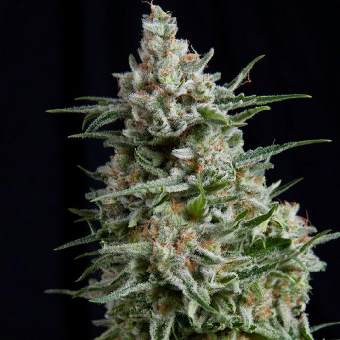Anesthesia CBD Feminizada Pyramidseeds - (x3)
