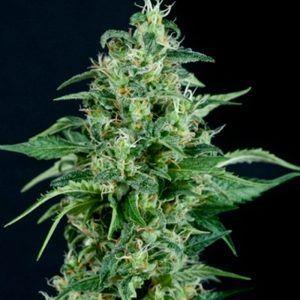 Kryptonite Feminizada Pyramid Seeds - (x3)
