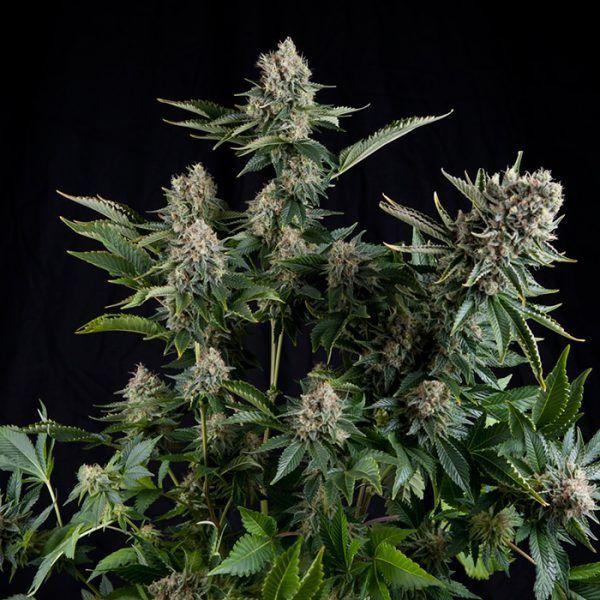 White Widow Feminizada Pyramidseeds - (x1)