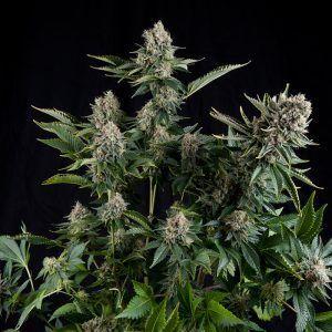 White Widow Feminizada Pyramidseeds - (x3)