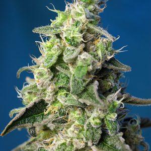 Auto Green Poison XL Sweet Seeds - (3+1)