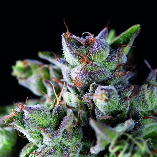 Gorila Feminizada Pyramid Seeds – (x1)