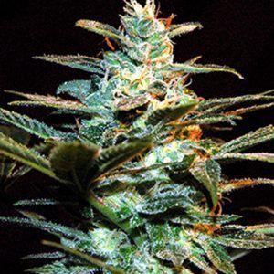 Ice Cool fem Sweet Seeds – (x3)