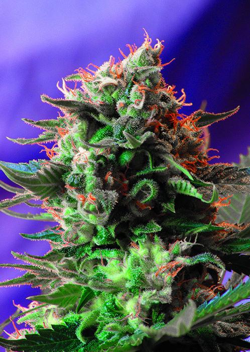 Jack 47 Feminizada Sweet Seeds - (3+1)