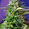 Auto Jack 47 Sweet Seeds - (3+1)