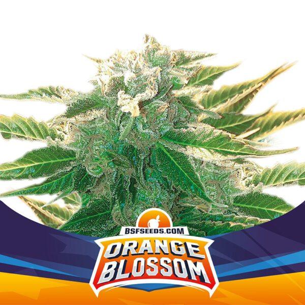 Auto Orange Blossom XXL BSF - (x2)