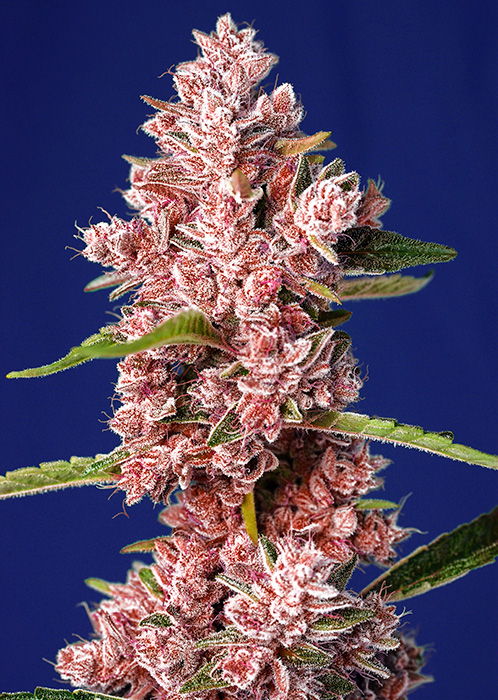 Tropicanna Poison F1 Sweet Seeds - (3+1)