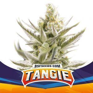 Tangie XXL Auto BSF – (x2)