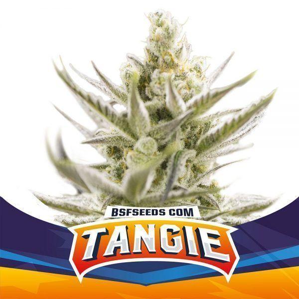 Tangie XXL Auto BSF - (x2)