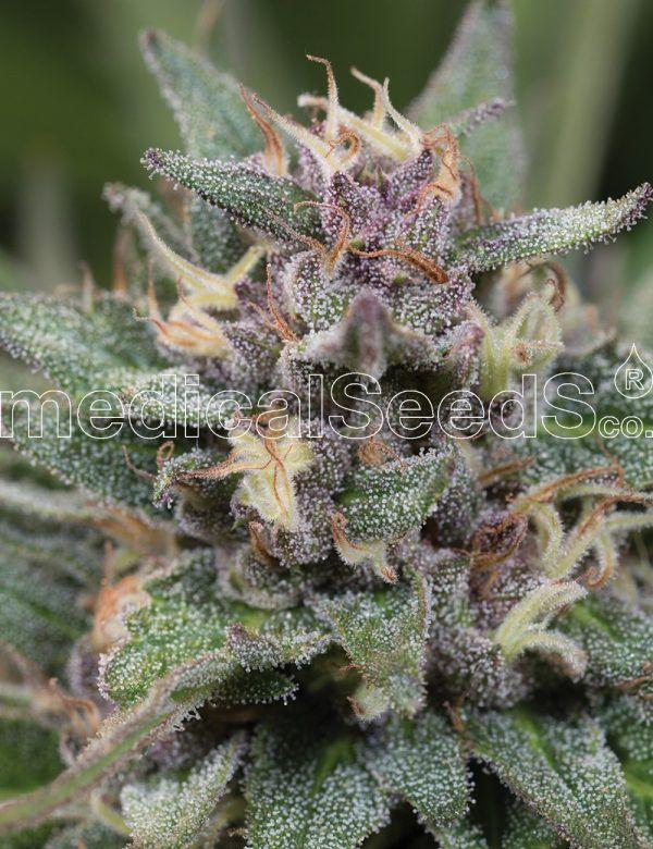 Auto Bluehell Medical Seeds - (x3)