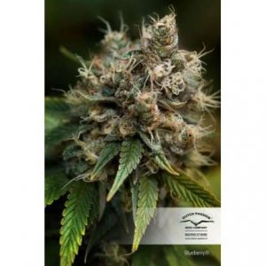 Blueberry Feminizada Dutch Passion - (x3)