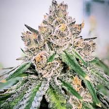 Gelato Acai Berry x Purple Puch Ripper Seeds - (x3)