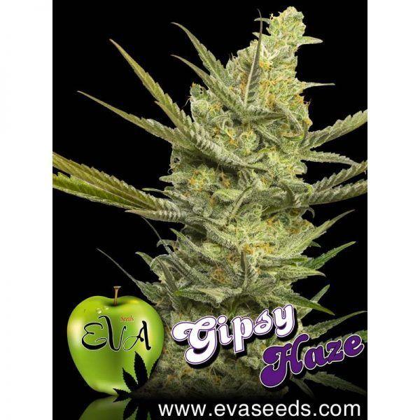 Gipsy Haze Feminizada Eva Seeds - (x3)