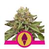 GREEN GELATO FEM ROYAL QUEEN SEEDS - (X1)