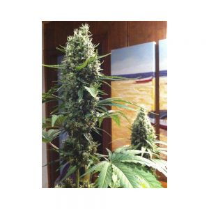 High Level Feminizada Eva Seeds - (x3)