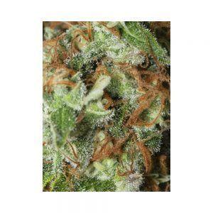 Jamaica Dream CBD fem Eva Seeds – (x3+1)
