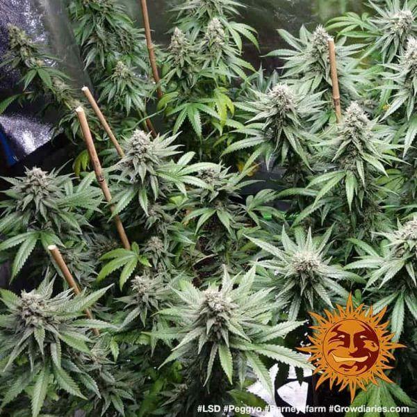LSD Feminizada Barneys Farm - (x1)