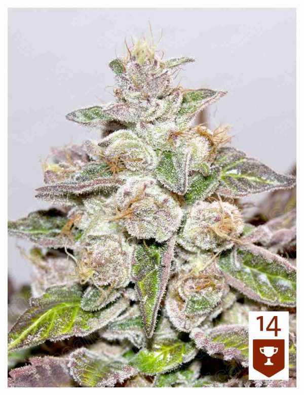 Mendocino Purple Kush Fem Medical Seeds - (x3)
