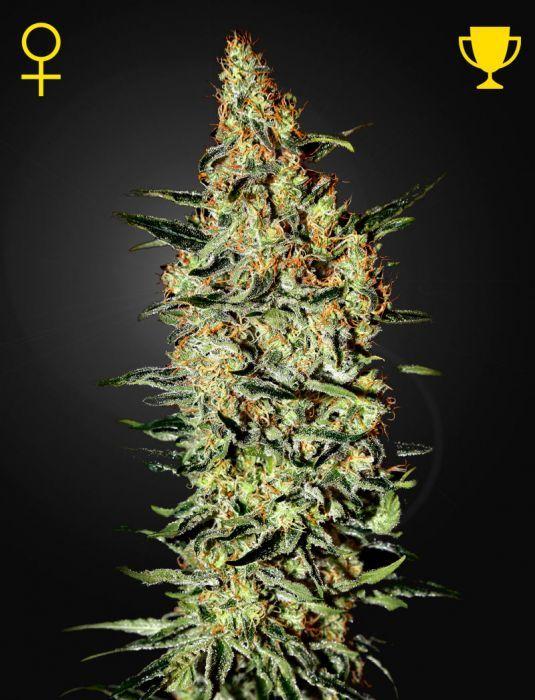 Nevilles Haze Feminizada Green House Seeds - (x3)