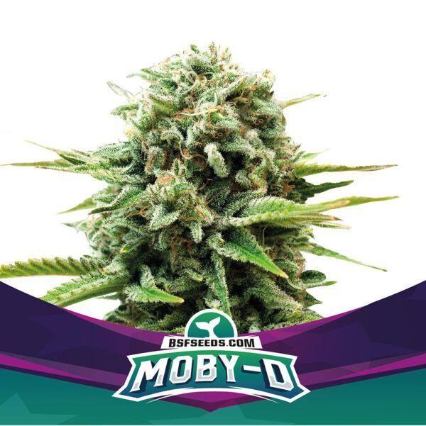 Moby D Feminizada BSF - (x4)