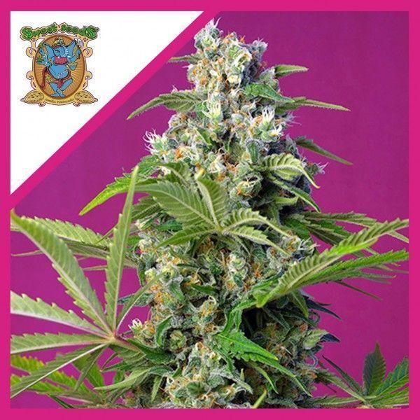 Gorilla Girl feminizada (3+1) - Sweet Seeds