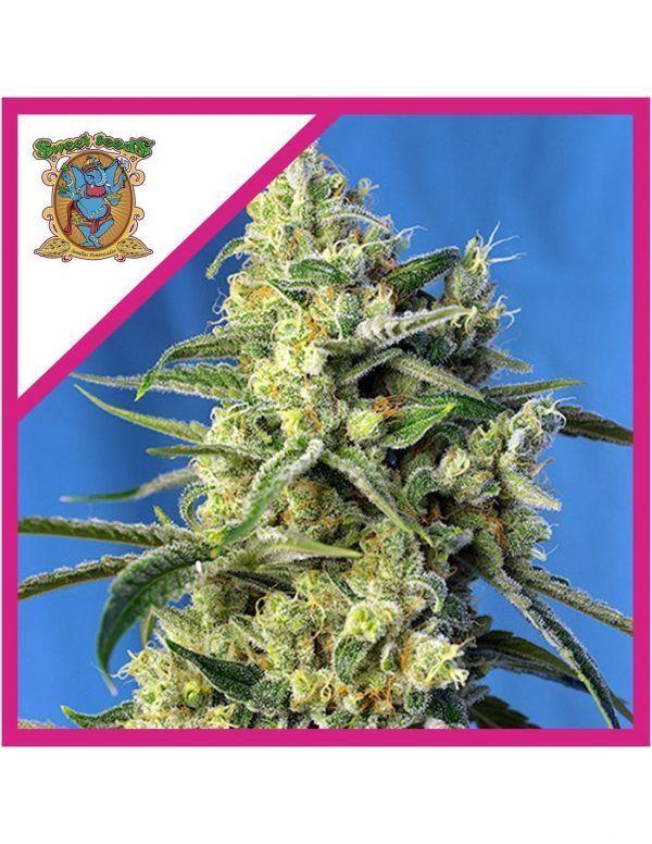 Sweet Amnesia Haze Feminizada Sweet Seeds - (3+1)
