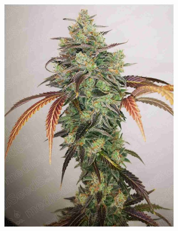 Y Griega CBD 2.0 Medical Seeds – (x3)